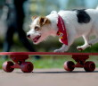 epaselect epa04724031 A Parson Jack Russell Terrier named Jo Jo rides a skateboard during a press conference for the upcoming trade fair 'Hund & Katz' (Dog & Cat) in Dortmund, Germany, 28 April 2015. The fair will run from 08 to 10 May.  EPA/MAJAHITIJ  Dostawca: PAP/EPA.