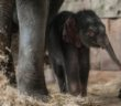 New baby elephant in Berlin zoo