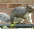 grey-squirrel-on-garden-fence-uk-side-view
